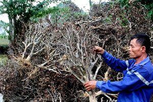 Nghệ An: Hàng trăm ha chè đang 'chết cháy' do nắng nóng kéo dài