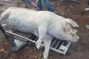 Lâm Đồng: Phát hiện dịch tả lợn Châu Phi đầu tiên