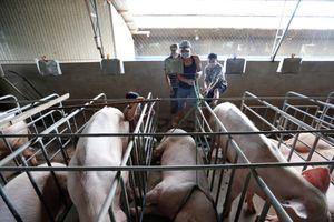 Lâm Đồng xuất hiện ổ dịch tả lợn châu Phi đầu tiên