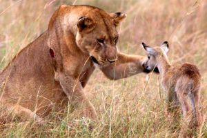 Những pha động vật nghĩa hiệp cứu mạng sinh vật khác loài gây kinh ngạc