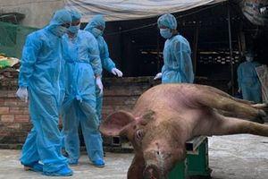 Đến lượt Lâm Đồng xuất hiện ổ dịch tả lợn châu Phi
