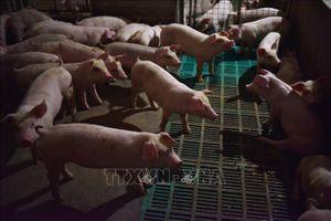 Lần đầu tiên phát hiện dịch tả lợn châu Phi tại Lào