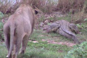 Cá sấu bò lên bờ kiếm ăn, ngờ đâu gặp kẻ địch quá mạnh nên phải trốn chạy