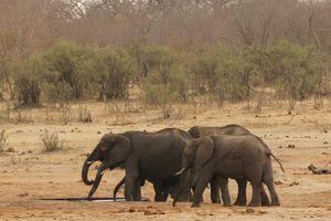 Zimbabwe tiếp tục rao bán voi hoang dã