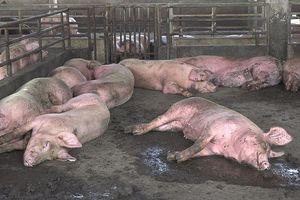 Dịch tả lợn châu Phi 'bủa vây' gần hết miền Tây