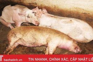Xuất hiện thêm 4 ổ dịch tả lợn châu Phi tại Cẩm Xuyên và TP Hà Tĩnh