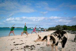 Thiên đường đảo lợn Bahamas