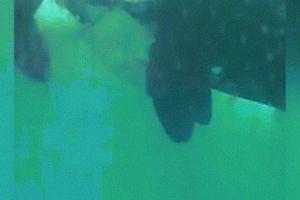 Lần đầu ghi lại hành động thân mật chưa từng thấy của cá voi sát thủ