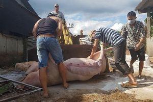 Chống dịch tả lợn châu Phi ở Lâm Đồng 'nóng' như 'chống giặc'