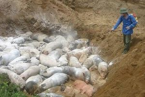 Đắk Nông: Đàn lợn bị tả châu Phi bị mổ thịt bán ngay trên đường