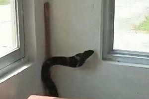 CLIP: Rợn tóc gáy nhìn rắn hổ chúa cực độc ngoe nguẩy trong phòng bảo vệ ở Quảng Ninh