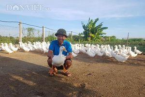 Nam Định: Nuôi vịt to xác, bán chạy như tôm tươi, thu tiền tỷ mỗi năm