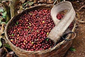 Giá cà phê hôm nay 27/6: Bất ngờ giảm mạnh 400 đồng/kg