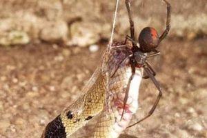 Rắn độc bị nhện cực độc 'treo cổ' trên cao chết thảm