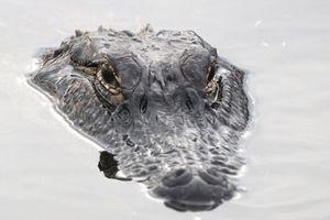Tìm thấy thi thể người trong bụng cá sấu ở Florida