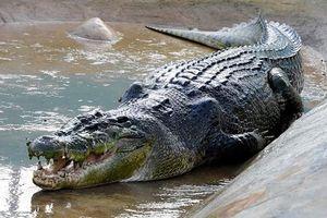 Rùng rợn khi phát hiện thi thể người trong bụng cá sấu nặng 204kg dài 3,7 mét