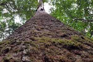 'Sứ giả thời tiền sử' trong rừng Bidoup