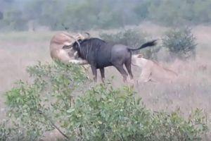 Bị 2 con sư tử cắn xé quyết liệt, trâu rừng phản đòn húc thủng bụng đối thủ