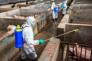 'Dịch tả lợn châu Phi có thể khiến Việt Nam thua trên sân nhà trong EVFTA và CPTPP'