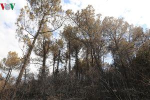 Xót xa những cánh rừng thông bạt ngàn 'chết đứng' sau 'bão lửa'