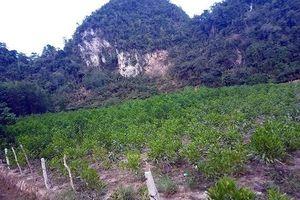 Đã bắt được nghi phạm chặt phá vườn keo 4.000 cây ở Nghệ An