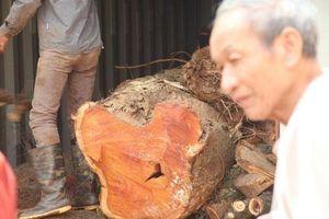 Hà Nội: Vỡ kế hoạch bán đấu giá hơn 5 tấn gỗ 'sưa trăm tỷ'
