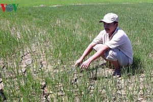 Nông dân Thừa Thiên Huế khóc ròng vì chân ruộng lúa khô cháy