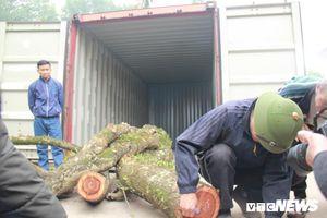 Không có ai mua, 5 tấn gỗ sưa ở Chương Mỹ 'ế sưng, ế xỉa'