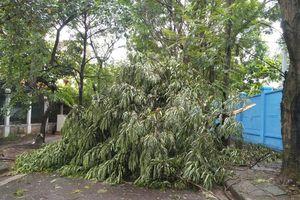 Hà Nội: Mưa dông khiến nhiều cây xanh gãy đổ, giao thông khó khăn