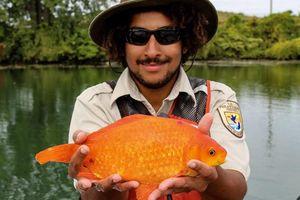 Mỹ: Cá vàng cảnh làm đảo lộn hệ sinh thái sông nước