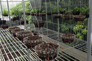 Chủ vườn lan Phú Thọ báo mất 50 giò lan cùng chuông báo động