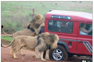 Bạn có thể giáp mặt sư tử gần tới mức khó tin ở Công viên quốc gia Kruger