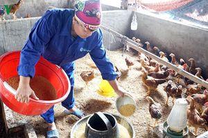 Người chăn nuôi Quảng Ninh không 'treo chuồng' sau dịch tả châu Phi