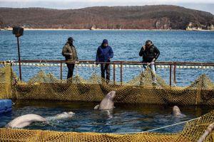 Nga thả 100 chú cá voi bị đánh bắt bất hợp pháp