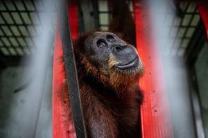Mẹ con đười ươi bị bắn 74 phát đạn và lời cảnh báo về nạn phá rừng