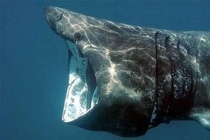 Những đặc điểm của loài cá mập khổng lồ có thân hình kỳ dị