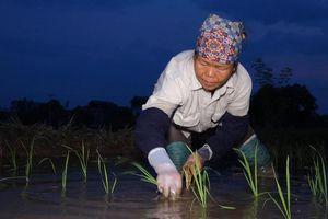 Nông dân cấy lúa từ sáng sớm để tránh nắng nóng ở Hà Nội