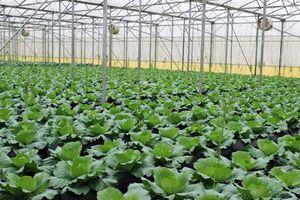 46,8% diện tích gieo trồng rau đạt VietGAP