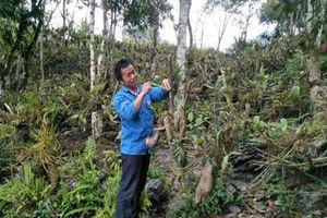 Lào Cai: Trai Mông vào rừng trồng bạt ngàn lan quý