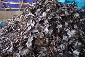 Quảng Ngãi: Trung Quốc siết quy định nhập khẩu, 2.000 tấn mực ùn ứ, ngư dân lao đao