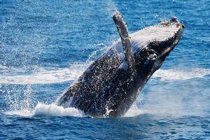 Cá voi xuất hiện ở Quy Nhơn, người dân phấn khích gọi 'ông ơi'