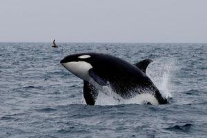 Nhật Bản đánh bắt cá voi trở lại, nhưng người dân thích ngắm cá hơn ăn