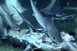 Cá mập bất ngờ bị nuốt chửng sau khi vừa ăn thịt cá kiếm