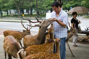 Nai Nara nổi tiếng Nhật Bản chết, trong bụng có 4,3 kg túi nhựa