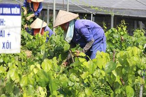 Chuỗi nông sản an toàn: Mất cân bằng lợi ích