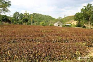 Bí thư Huyện ủy Anh Sơn, Thanh Chương đề nghị sớm công bố thiên tai hạn hán