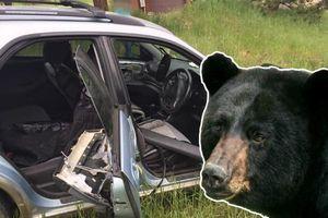 Gấu hoang đột nhập ô tô, phá tan tành nội thất rồi lao xe lùi xuống đồi
