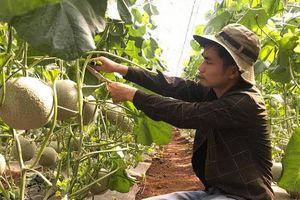 Nghệ An: Trai 9X biến vùng đất cằn thành vườn dưa lưới trĩu quả