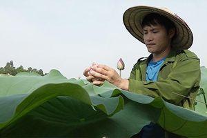 Bỏ phố về quê, chàng cử nhân trồng chè sen bán 10 triệu/kg ở Thái Nguyên