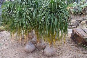 Độc đáo loài lan dáng như chiếc bình rượu ở Việt Nam
